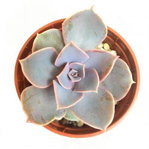 Echeveria 'Pearl of Nuremburg' small plant