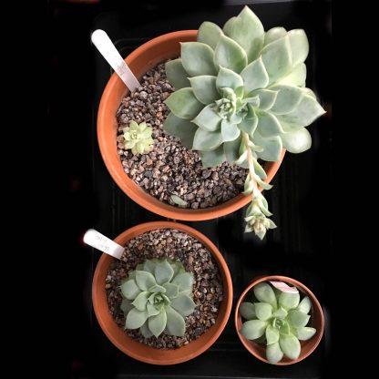 """Echeveria """"Van Breen"""" 3 plants"""