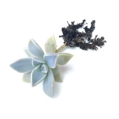 Graptopetalum paraguayense small rooted plant