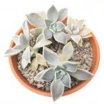 Graptopetalum paraguayense x4 in a clay pot