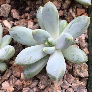 Pachyveria bea small plant