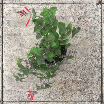 Salvia elegans large plant
