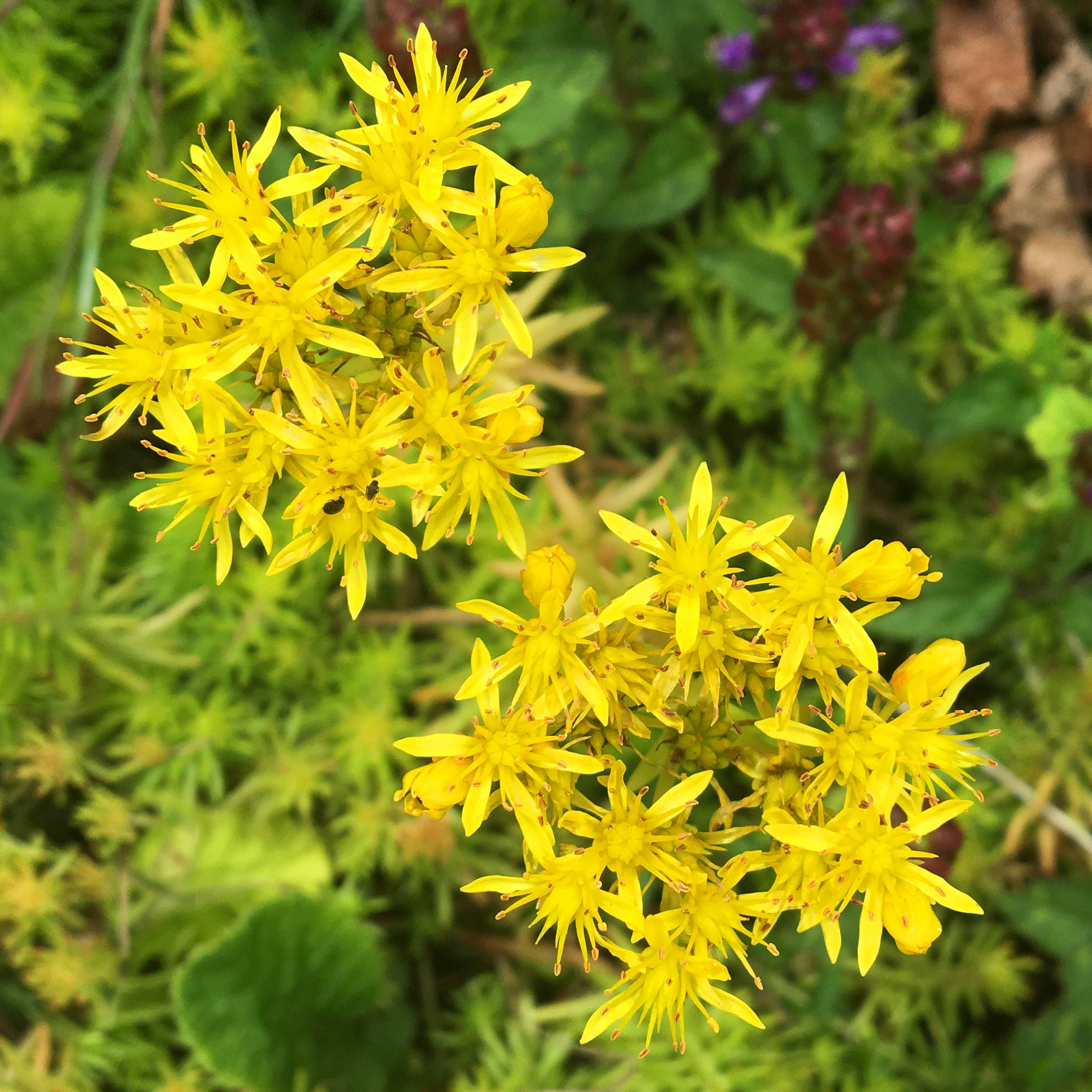 Sedum reflexum 'Aureum' with yellow flowers