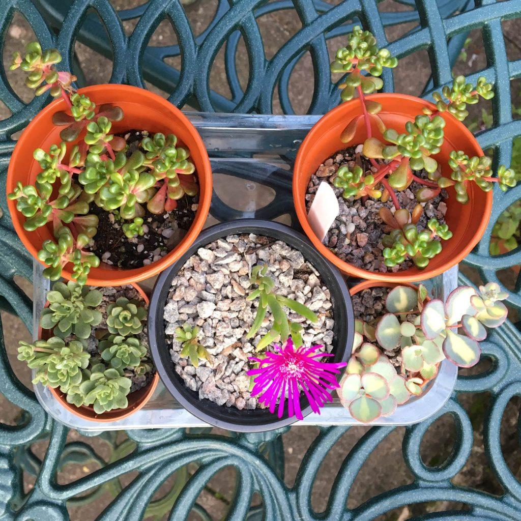 Delosperma, Sedum oreganum and other outdoor succulents