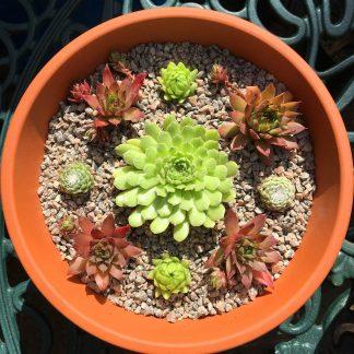 Sempervivum bowl red green cross