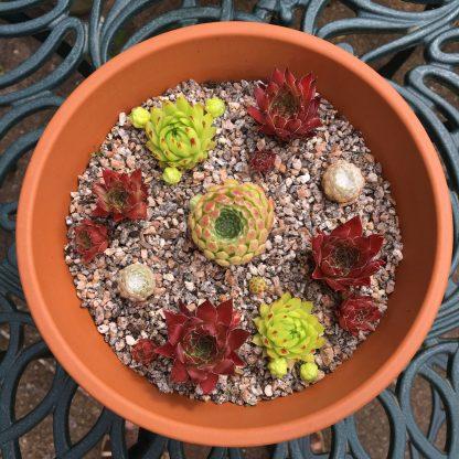 Sempervivum bowl red and green cross 18cm pot